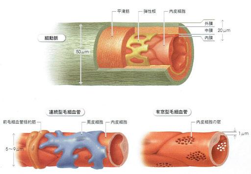 細動脈・連続型毛細血管・有窓型毛細血管