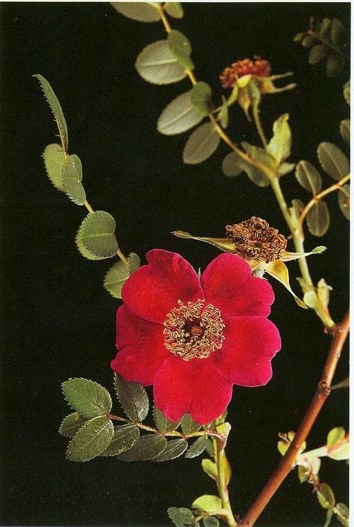 Rosa moyesii