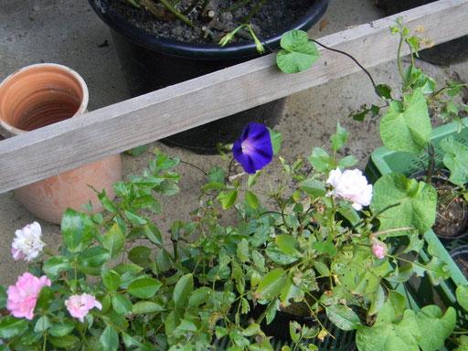 Blühende The Fairy Stecklinge vom Frühjahrschnitt, umspielt von einer Ipomea