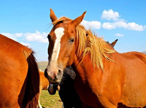 kirgisische Pferde waren zu allen Zeiten begehrt