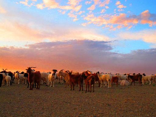 eine halbwilde Ziegen- und Schafherde am Rande der Gobi-Wüste