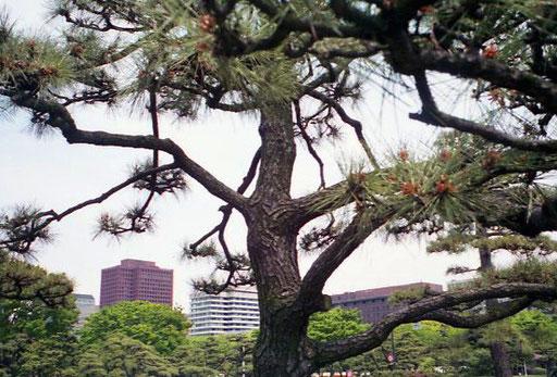 wundervoll geschnittene Kiefer im Palstgarten