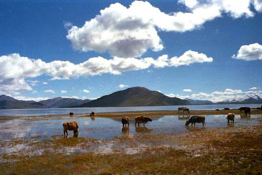 Yaks weideten ruhig am Ufer des Yamdok-Sees