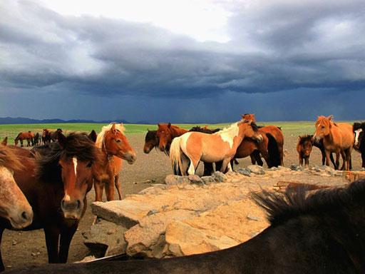 wunderschöne halbwilde mongolische Pferde