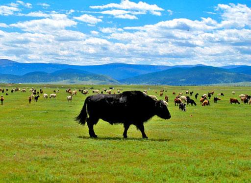 der Bulle und seine mächtige Herde