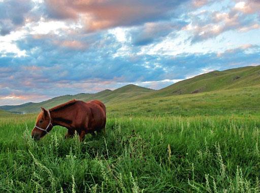 in dem hohen, saftigen Gras konnten sich die Pferde satt fressen