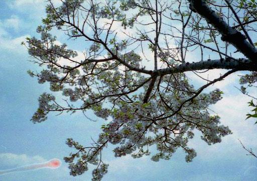 die Kirschblüten streckten sich der milden Frühjahrs-Sonne entgegen
