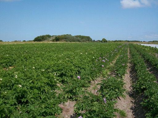 Kartoffeln aus Kampen, aus Braderup und aus Morsum, Gemüse auch insular oder aus Dänemark oder nah dem Christinenkoog  ...