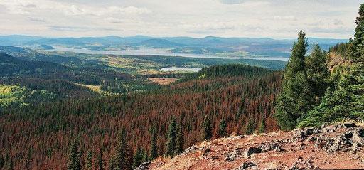 Von Bergkiefernkäfern (pine beetles) getötete Bäume am Fraser Lake in British Columbia