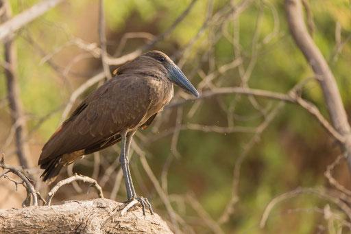 Ombrette africaine oiseau Sénégal Afrique Stage Photo J-M Lecat Non libre de droits