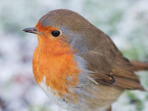 Rotkehlchen - Erithacus rubecula - Eurepean Robin