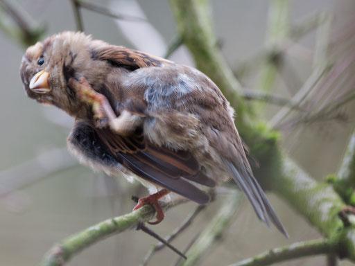 Haussperling - Passer domesticus - House Sparrow