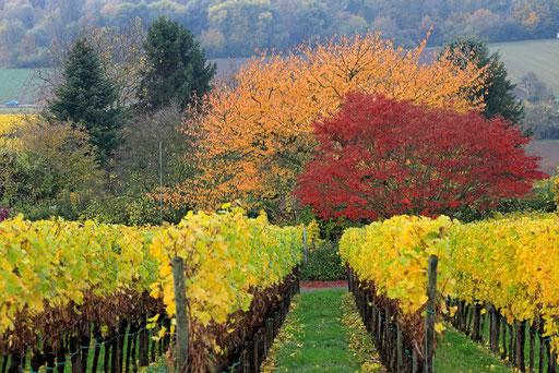 Weinlandschaft bei Heppenheim-Deutschland