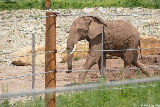 Afrikanischer Elefant KIBO