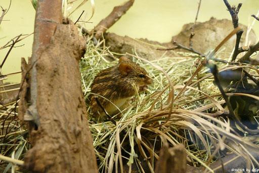 Tüpfelstreifen-Grasmaus (Eigentliche Streifengrasmaus, Tüpfelgrasmaus)
