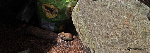 Fredy die tollkühne Maus