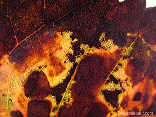 Egalement d'octobre 2010. Une feuille. Une merveille transformée par le froid.