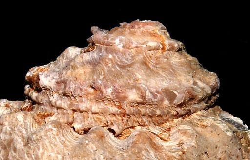 Bolma rugosa, vista dell'apice, Sant'Agostino (Civitavecchia, RM)