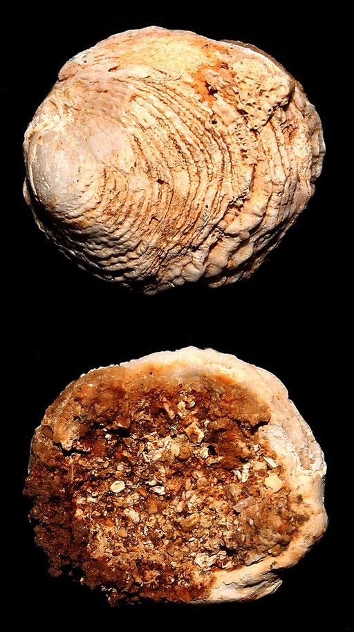 Chama gryphoides, Sant'Agostino (Civitavecchia, RM)