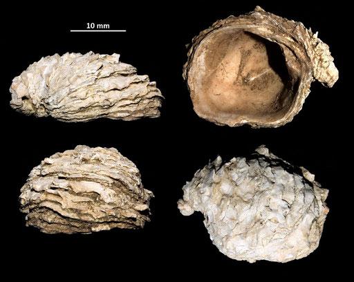 Chama gryphoides, Macchia della Turchina (Monteromano, VT)