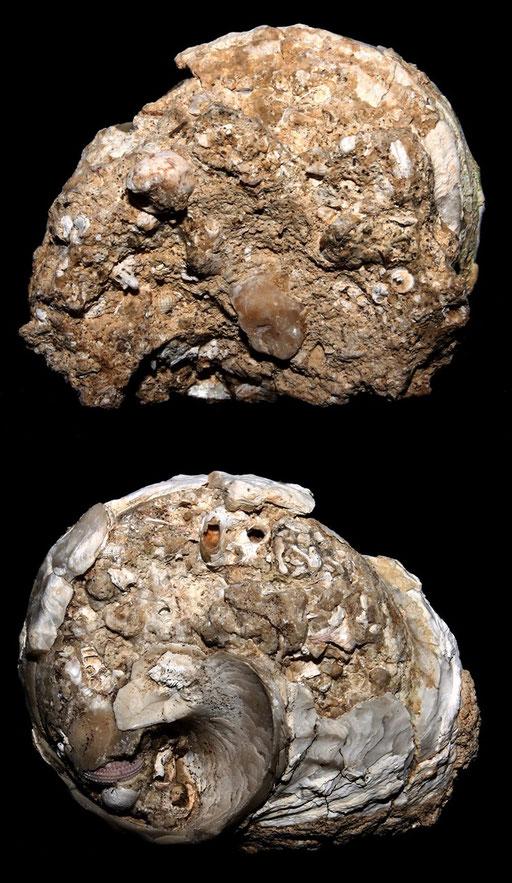 Bolma rugosa, calco, Sant'Agostino (Civitavecchia, RM)