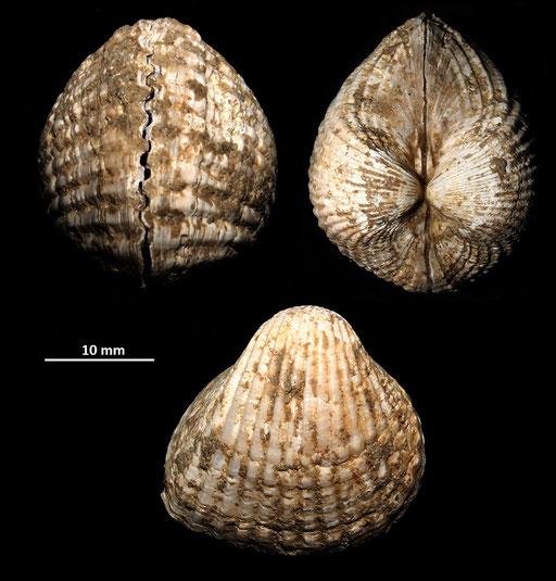 Cerastoderma glacuum, Macchia della Turchina