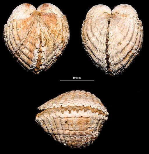 """Cerastoderma glacuum, Macchia della Turchina (livello a panchina marchiato come """"affioramento 2"""")"""