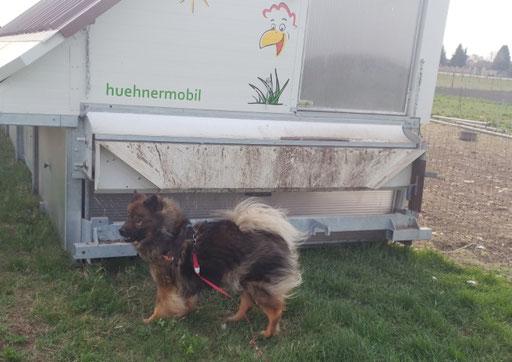 Ylvi findet den Geruch und die Geräusche der Hühner sehr interessant