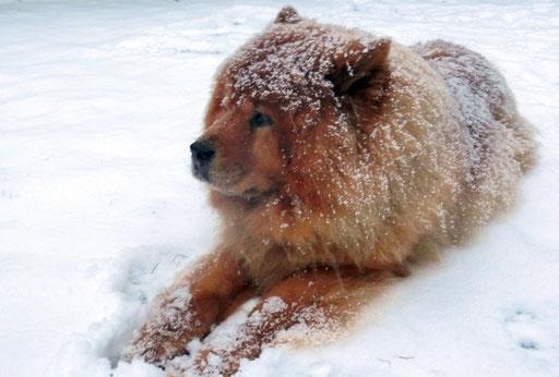 Shiwa lässt sich gerne einschneien