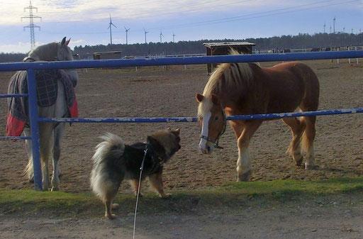 Ylvi bei denPferden