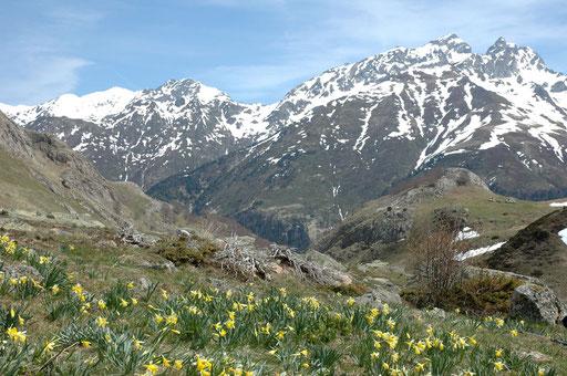 Tapis de jonquilles Vallée d'Ossau - www.le-refuge-des-marmottes.com