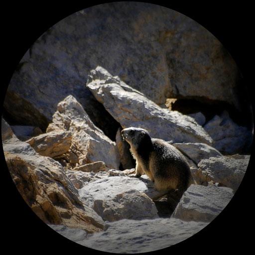 Une marmotte à l'affût -  - www.le-refuge-des-marmottes.com