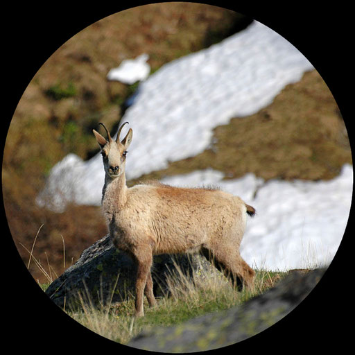Un isard à l'affût - www.le-refuge-des-marmottes.com