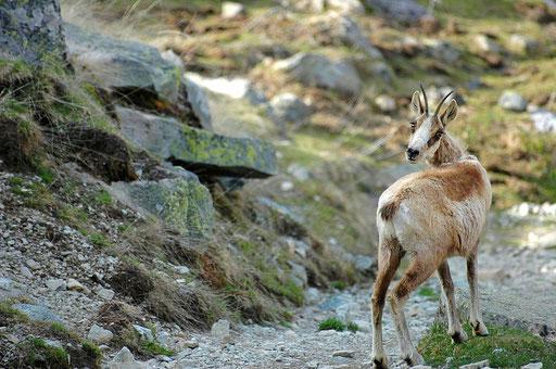 Un isard sur le chemin du retour de Pombie par le caillou de Soques - www.le-refuge-des-marmottes.com