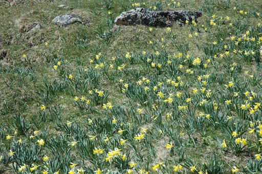 Tapis de jonquilles - www.le-refuge-des-marmottes.com