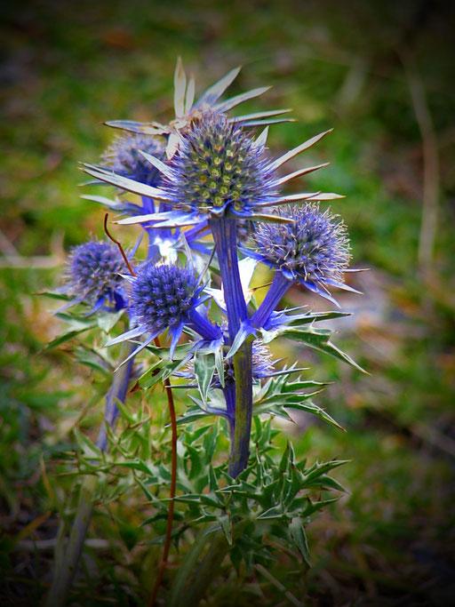 Un chardon bleu -  - www.le-refuge-des-marmottes.com