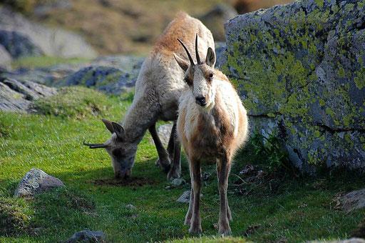 Rencontre avec des isards - www.le-refuge-des-marmottes.com