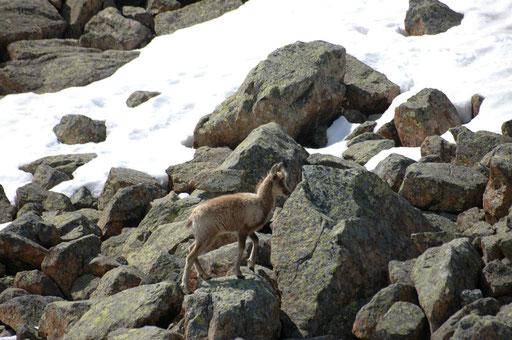 Un jeune isard de l'année vers Pombie - www.le-refuge-des-marmottes.com