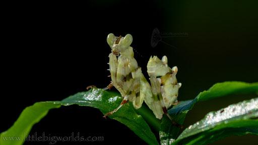 Theopropus sp., L6 Weibchen