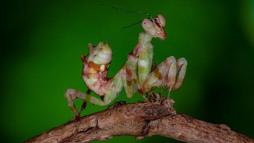 Theopropus sp., L4 Weibchen