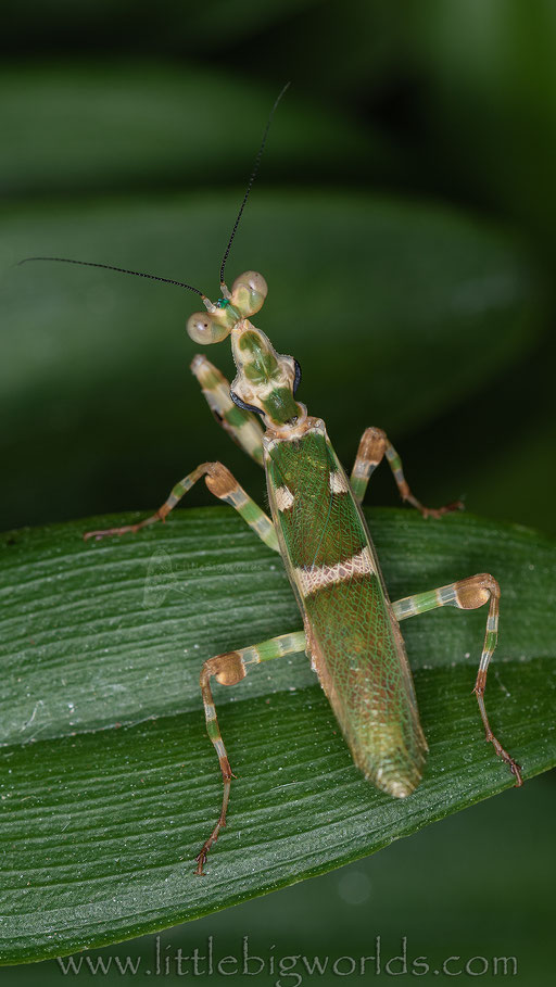 Theopropus sp., adultes Männchen