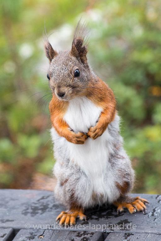 Ein ganz besonders hübsches Eichhörnchen besucht uns auf der Veranda unseres Ferienhauses in Årrenjarka