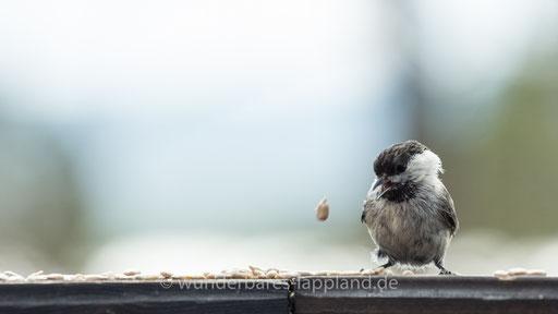 Weidenmeise syn. Mönchsmeise (Poecile montanus); schwedisch:  Talltita