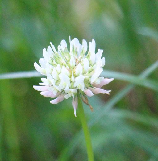 Weiß-Klee (Trifolium repens), Rote Liste Status: 8 nicht gefährdet, Bild Nr.548, Aufnahme von Nikolaus Eberhardt (21.5.2018)