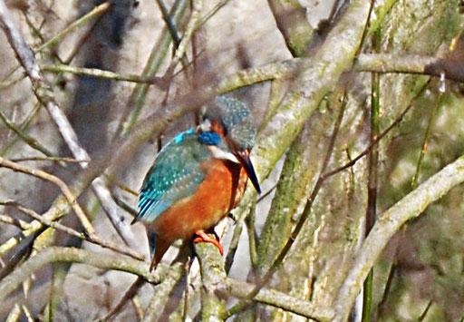 Eisvogel (Alcedo atthis), Rote Liste Status: 8 nicht gefährdet, Bild Nr.24, Aufnahme von Andreas Bräuning