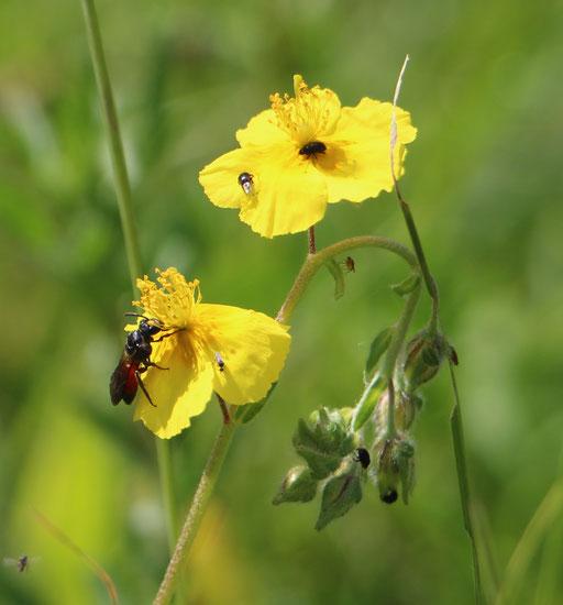 Gelbes Sonnenröschen (Helianthemum nummularium), Rote Liste Status: 6 Arten der Vorwarnliste, Bild Nr.400, Aufnahme von Nikolaus Eberhardt (28.5.2017)