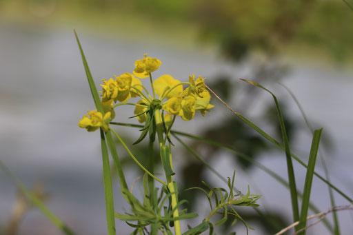 Zypressen-Wolfsmilch (Euphorbia cyparissias), Rote Liste Status: 8 nicht gefährdet, Bild Nr.270, Aufnahme von Nikolaus Eberhardt (24.4.2016)