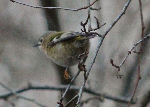 Wintergoldhähnchen (Regulus regulus), kleinster Vogel Europas 4-7g,  Rote Liste Status: 8 nicht gefährdet, Bild Nr.469, Aufnahme von Nikolaus Eberhardt (10.12.2017)