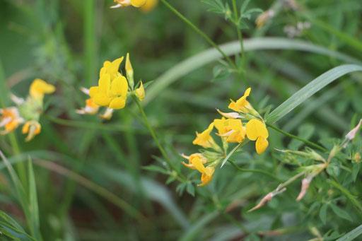 Hornklee (Lotus corniculatus), gewöhnlicher-,  Rote Liste Status: 8 nicht gefährdet, Bild Nr.182, Aufnahme von Nikolaus Eberhardt (9.8.2015)