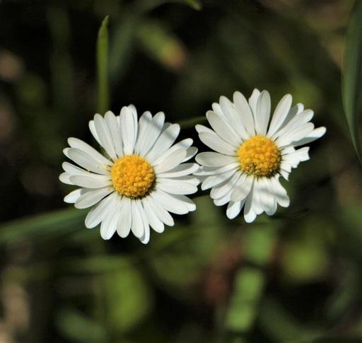 Gänseblümchen (Bellis perennis), RoteListe: 8 nicht gefährdet, Bild Nr.753, Bild v. Nick E. (13.5.2021)